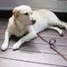 大型犬の室内飼いの工夫。トイレや部屋の用意はどうする?